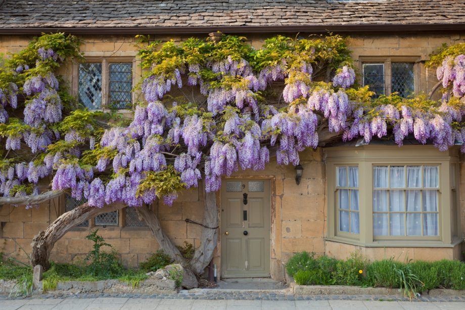 Wisteria on a house wall in the village of Broadway in the Cotswolds.