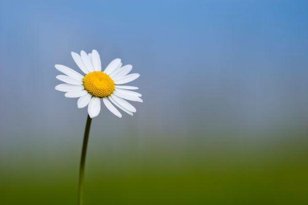 delights of the daisy the tiny flower with huge charm that s