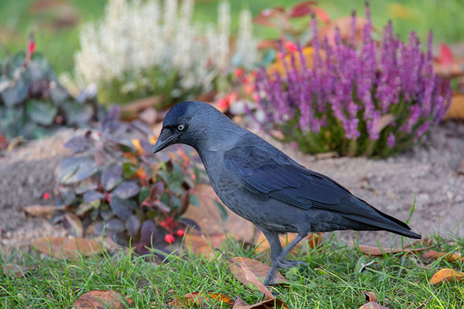 11 things you never knew about the jackdaw, the bird that