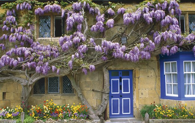 Mature wisteria trees for sale