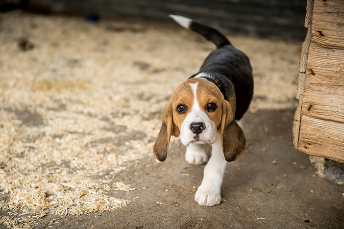 beagles the smart little hounds that are both furry friend and