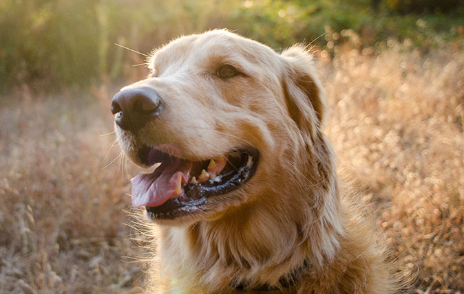 Portrait of a golden retriever in late afternoon sun