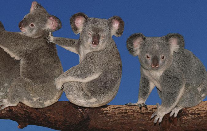A group photo of koala bears