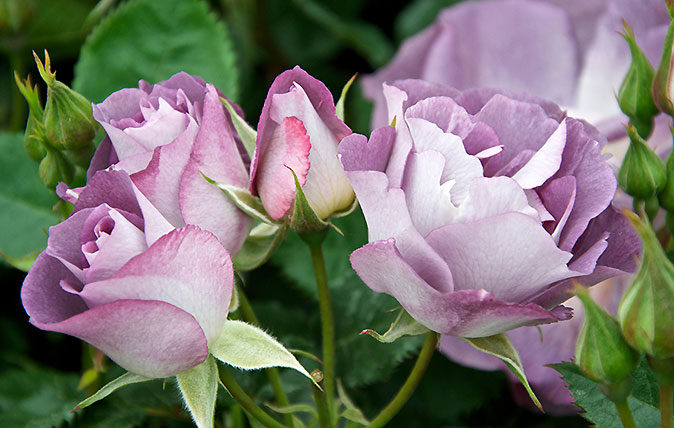 guide to growing roses