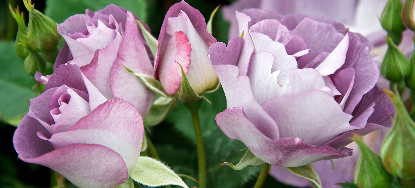 Ultimate Guide To Growing Roses What To Plant Where To Plant It