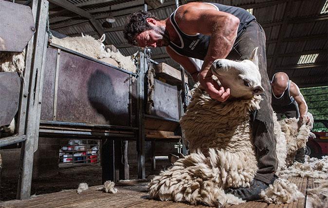 Sheep-shearer