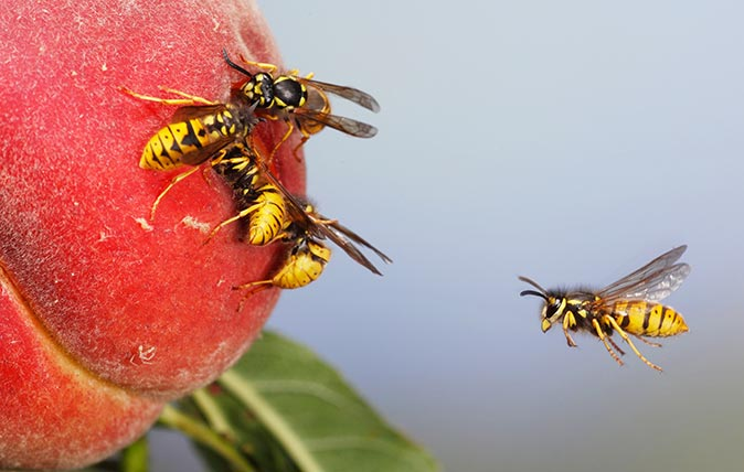 Common wasp (vespula vulgaris) flying to ripe peach