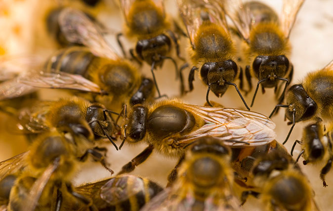 A queen bee surrounded by honeybees (Apis mellifera)