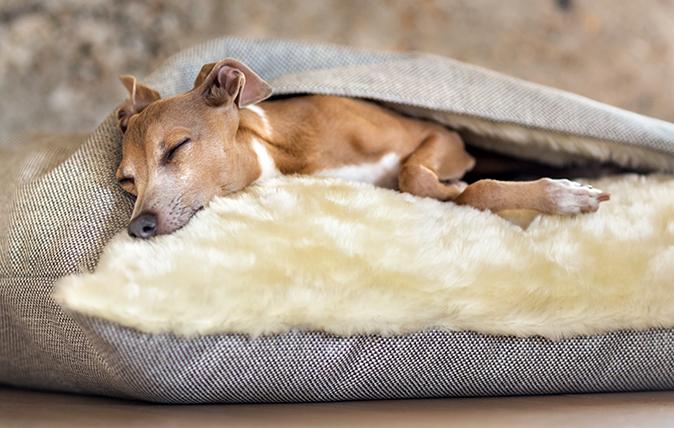 An Italian greyhound snuggling down (Photo: Grzegorz Gebik)