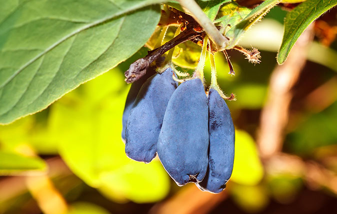 Organic blue berries of a honeysuckle on a branch with leaves. Summer or vegetarian background, nature concept. Closeup of ripe and juicy honeysuckle
