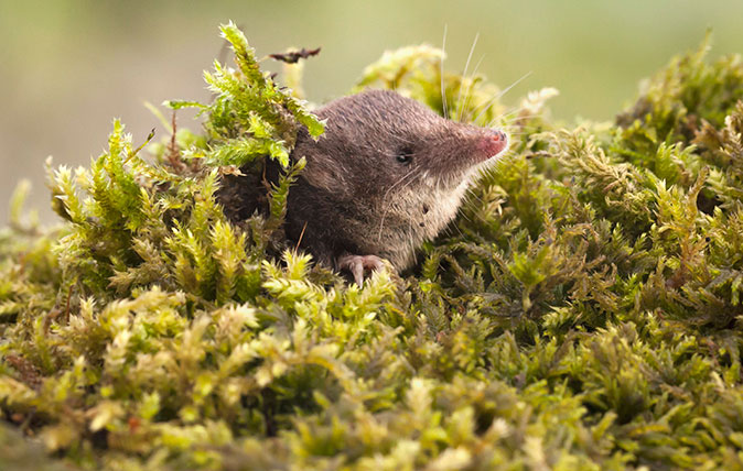 A Eurasian water shrew (Neomys fodiens)