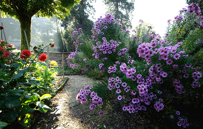 Michaelmas daisies in mid October