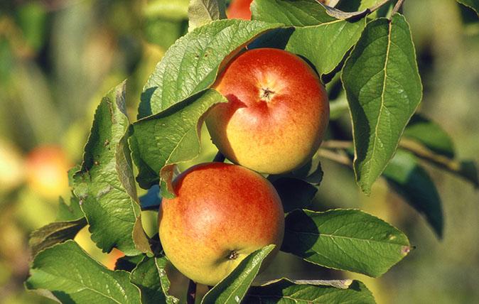 Gelber Berlepsch apples on a branch