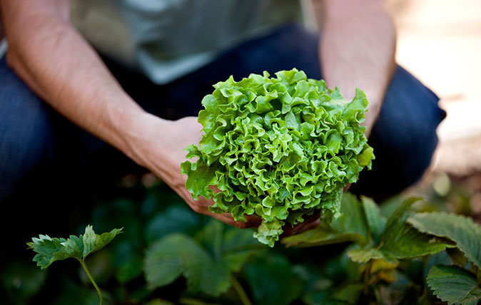 A man picking a lettuce