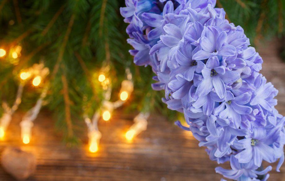 hyacinth at Christmas