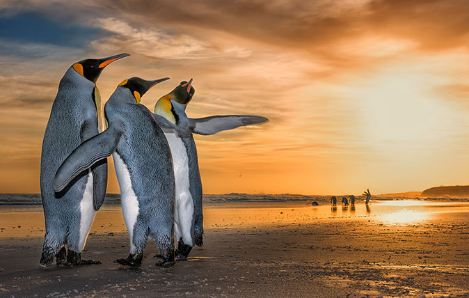 Three Kings by Wim Van Den Heever, South Africa Wim came across these king penguins on a beach in the Falkland Islands just as the sun was rising. They were caught up in a fascinating mating behaviour – the two males were constantly moving around the female using their flippers to fend the other off.