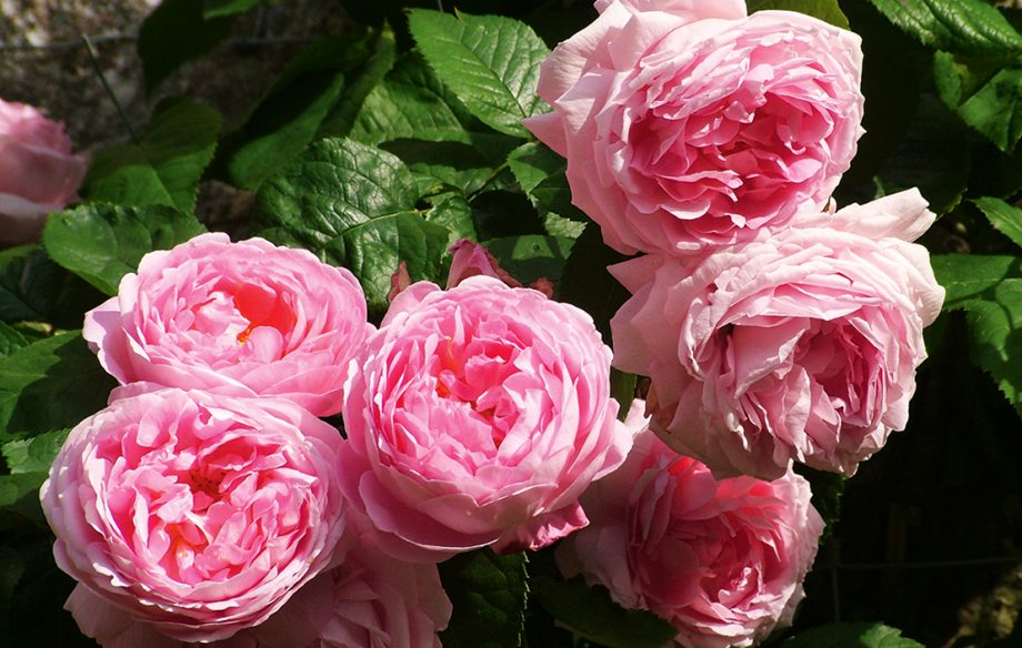 Constance Spry, David Austin's first-ever 'English' rose, went on sale in 1961 and remains a favourite to this day