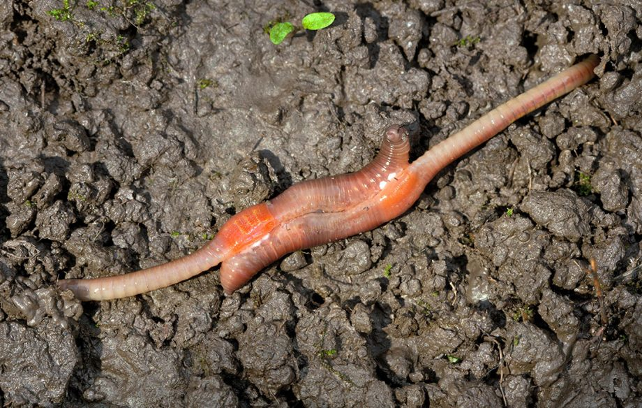 The sexual coupling of earthworms