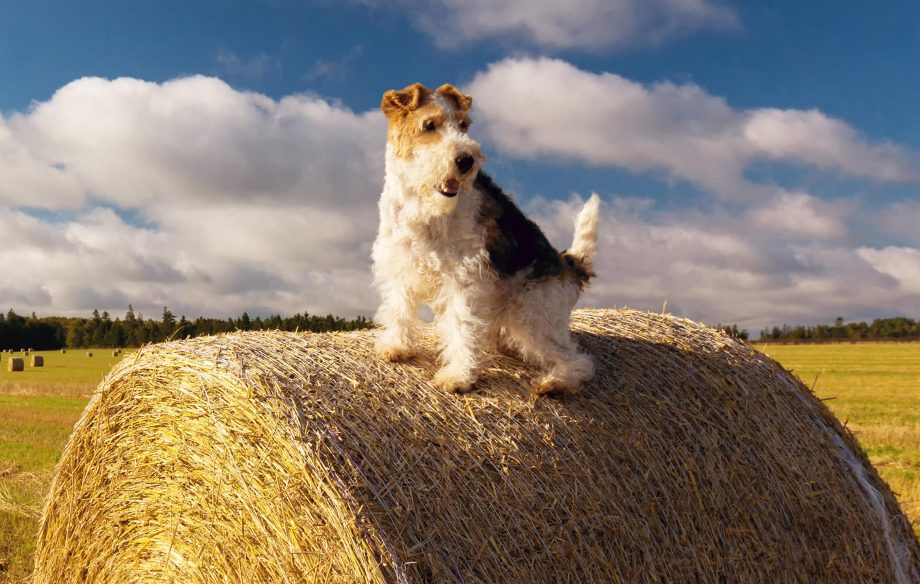 A wire fox terrier perched on top of a hay bale.