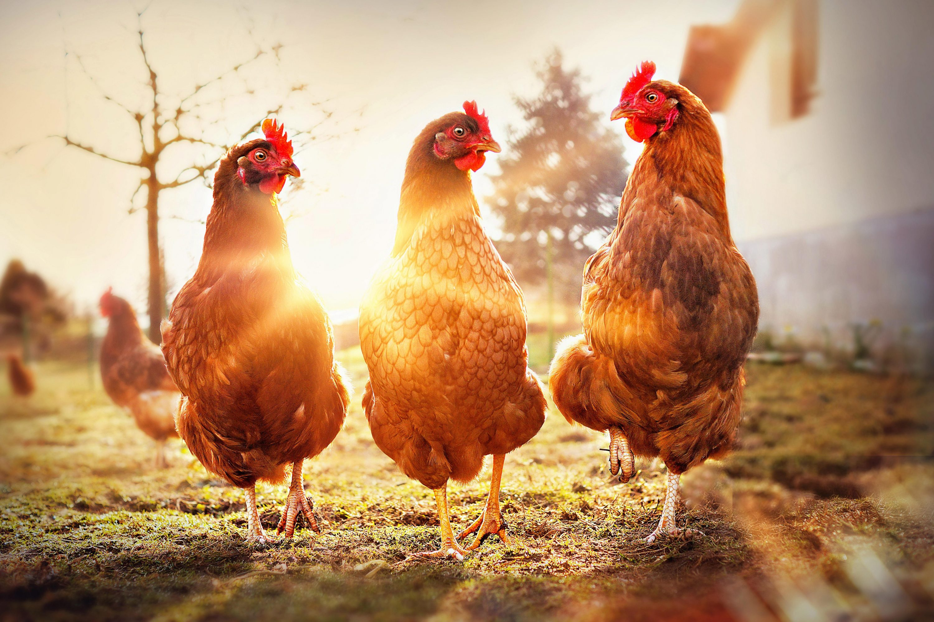 Alan Titchmarsh: My chickens are scatty, stupid, selfish and bullying –but I wouldn't be without them - Country Life
