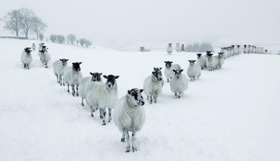 Winter Sheep V Formation