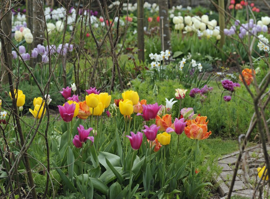 Tulips in a country house garden.
