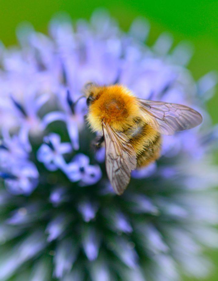 bumble bee sex