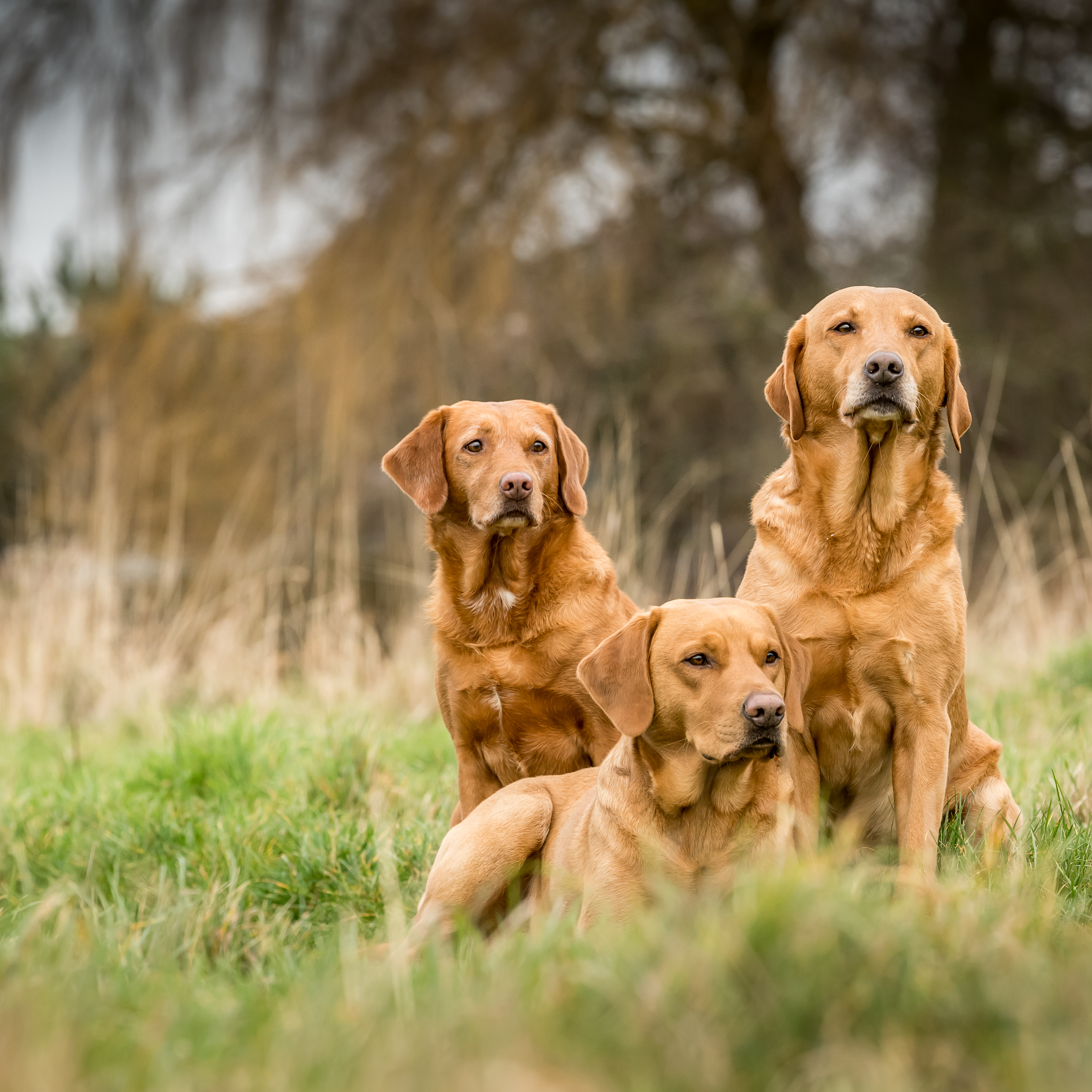 Fox-red labradors: Why red is the new black - Country Life