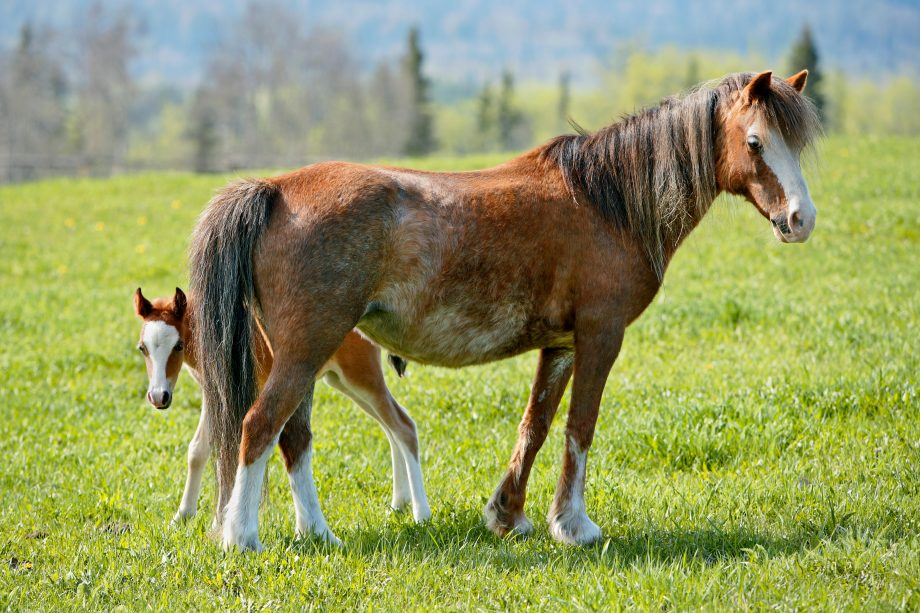 Welsh Pony Mare with few week old Foal at spring pasture