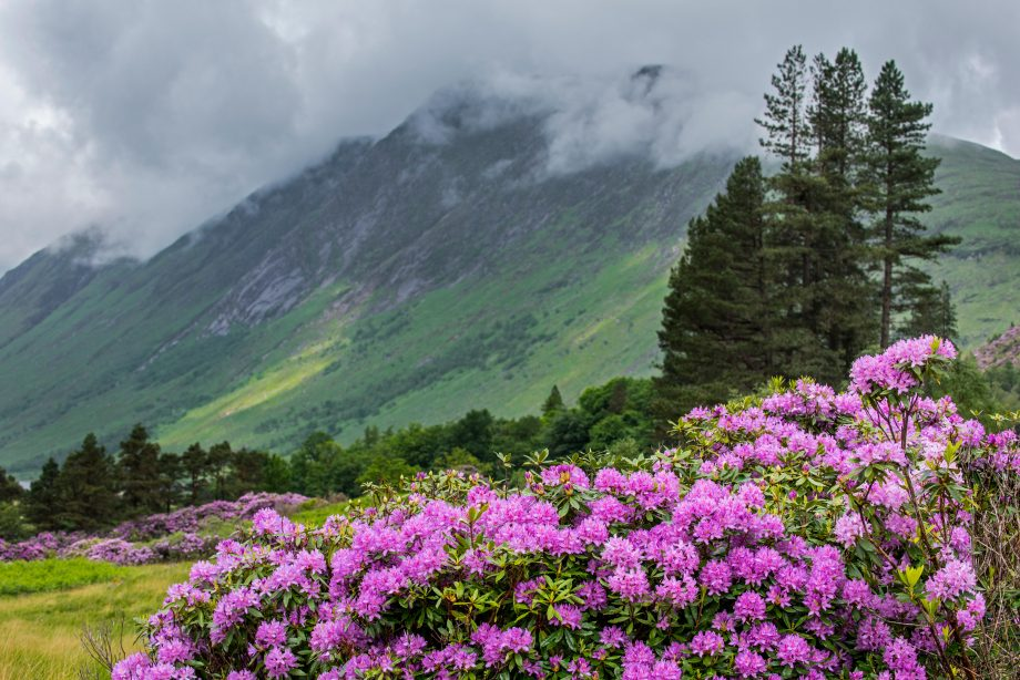 Common rhododendron / Pontic rhododendron (Rhododendron ponticum) in flower, invasive species in Glen Etive, Scottish Highlands, Scotland