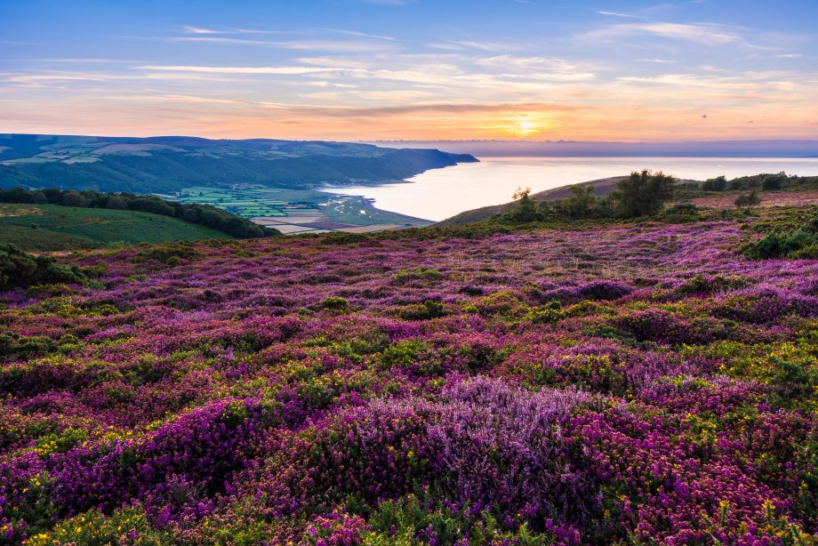 Bell heather on Selworthy Beacon looking towards Bossington Hill and Porlock Bay in Exmoor National Park. Somerset, England.