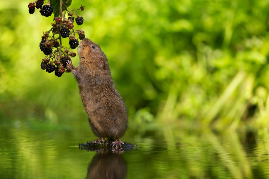 A wild water vole reaching up to eat some juicy blackberries