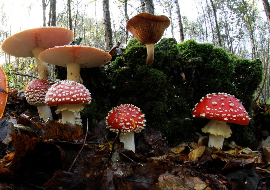 Could fungi hold the key to how life evolved on dry land? The early relatives of these Fly Agaric mushrooms could yet hold the key.