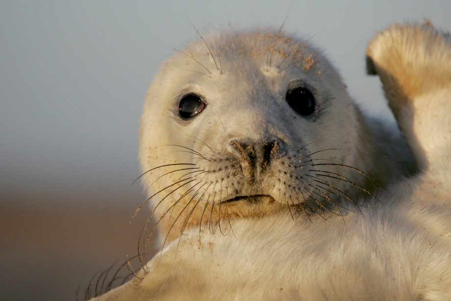 Country Life Today: How a seal singing 'Twinkle Twinkle Little Star' could help treat human speech disorders