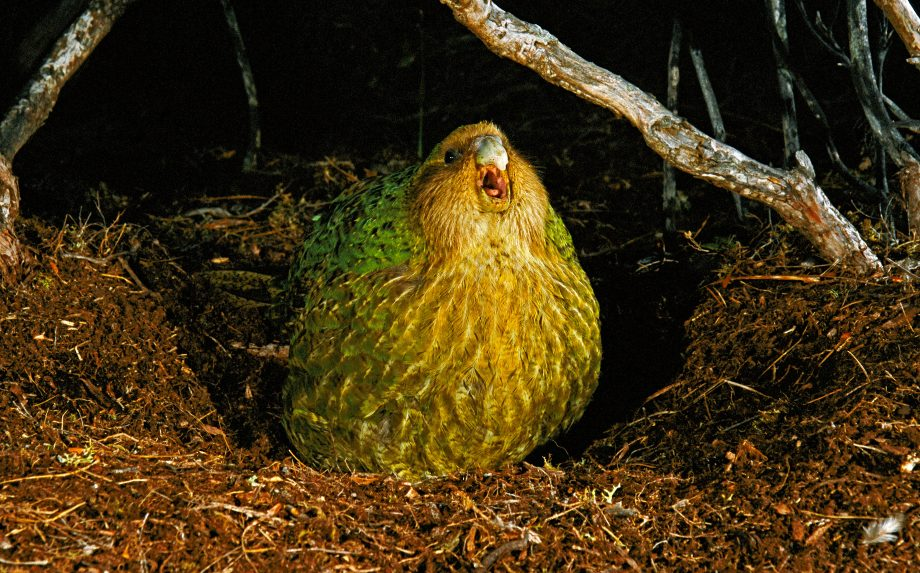 A kakapo on Codfish Island, New Zealand.