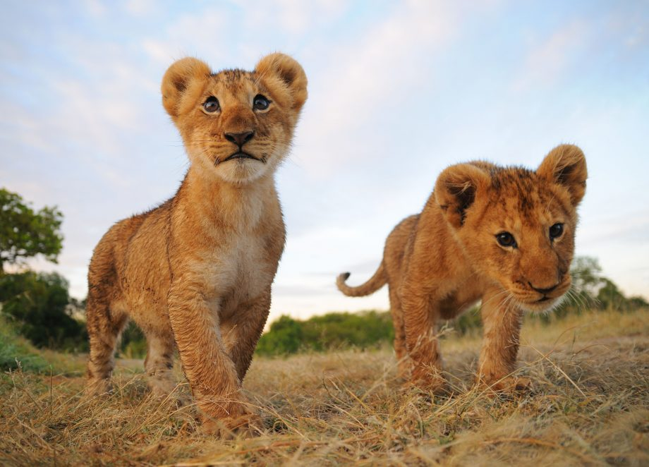 Meet the neighbours: would you want a pair of lion cubs living next door?