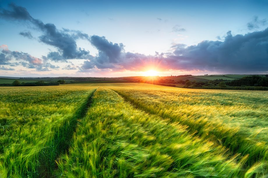 Sunset over farm land with barley blowing in the breeze