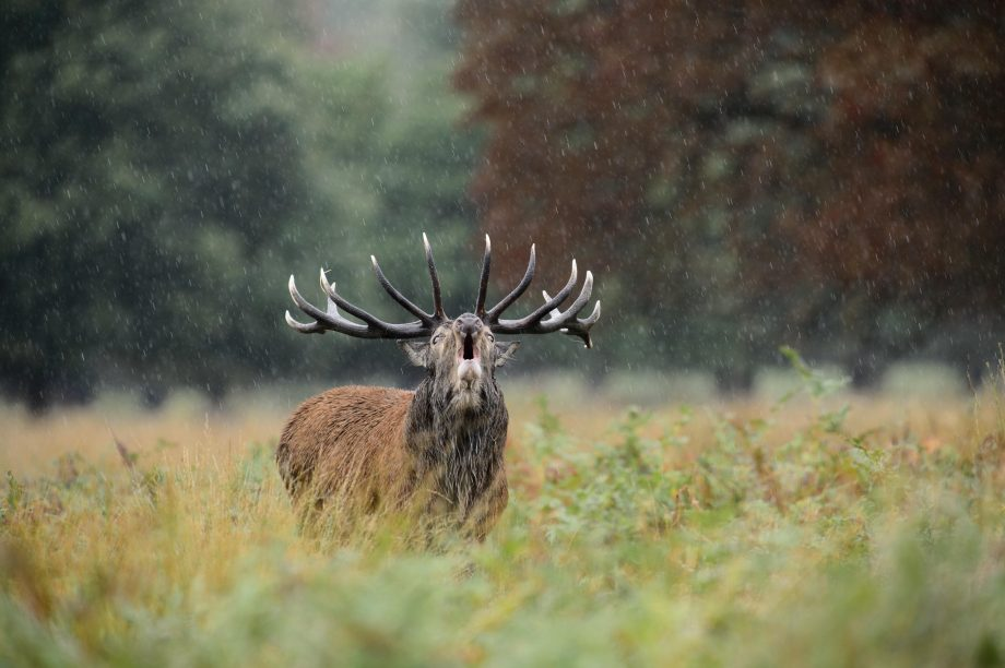 A red deer stag calling in the rain, Richmond Park, London.