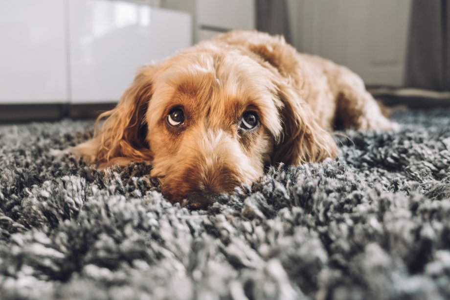 Country Life Today: How puppy dog eyes are the finest evolutionary trick of man's best friend