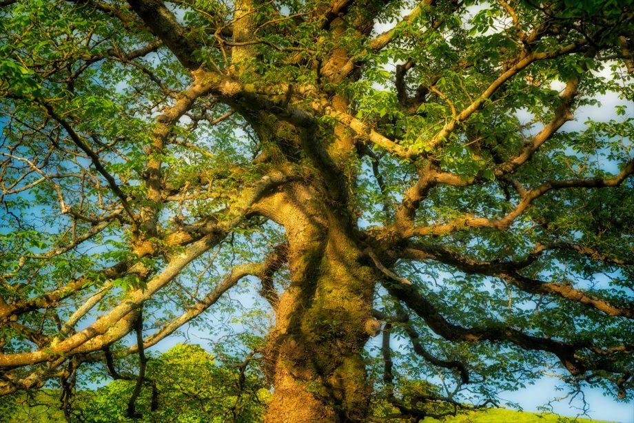 Blossom of an Elder tree Sambucus nigra