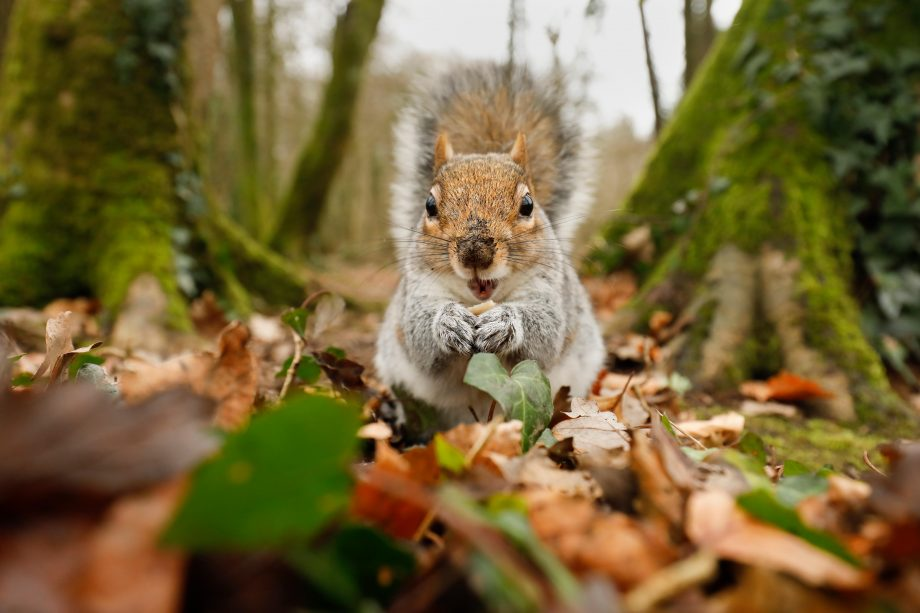Grey squirrels are bigger and stronger than the reds and force them out of most British habitats