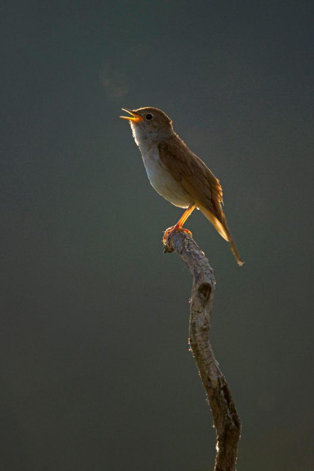 A singing male nightingale (Luscinia megarhynchos)