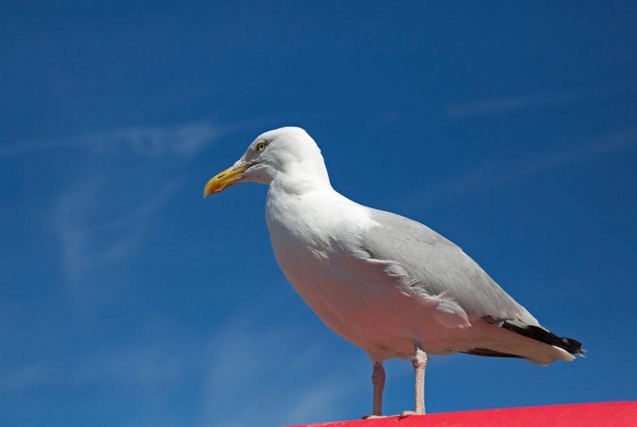 A seagull in Paignton, South Devon,