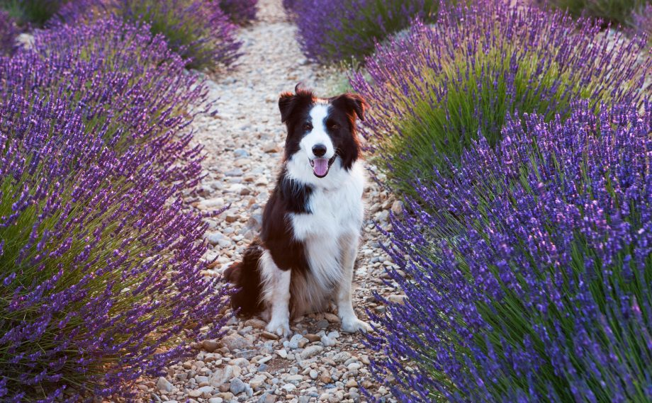 Border Collies are definitely happier in fields than on sofas...