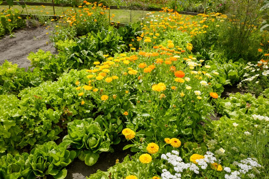 A potager garden growing salad crops and flowers in a Community garden in Wiltshire