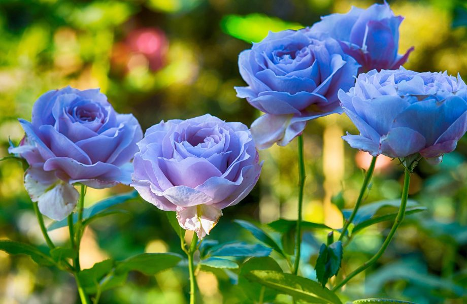 Attempts to make blue roses have produced slightly muddy mauves — but that's as far as it's got.