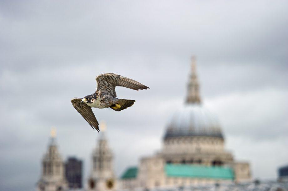 A peregrine falcon flies across the London skyline