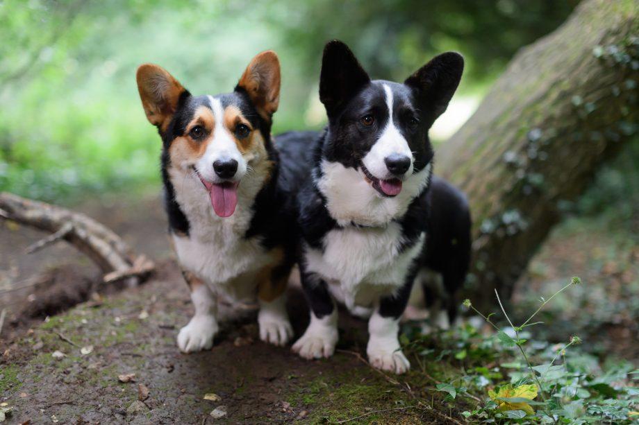 Cardigan Welsh Corgis: 'Smashing little dogs' which deserve