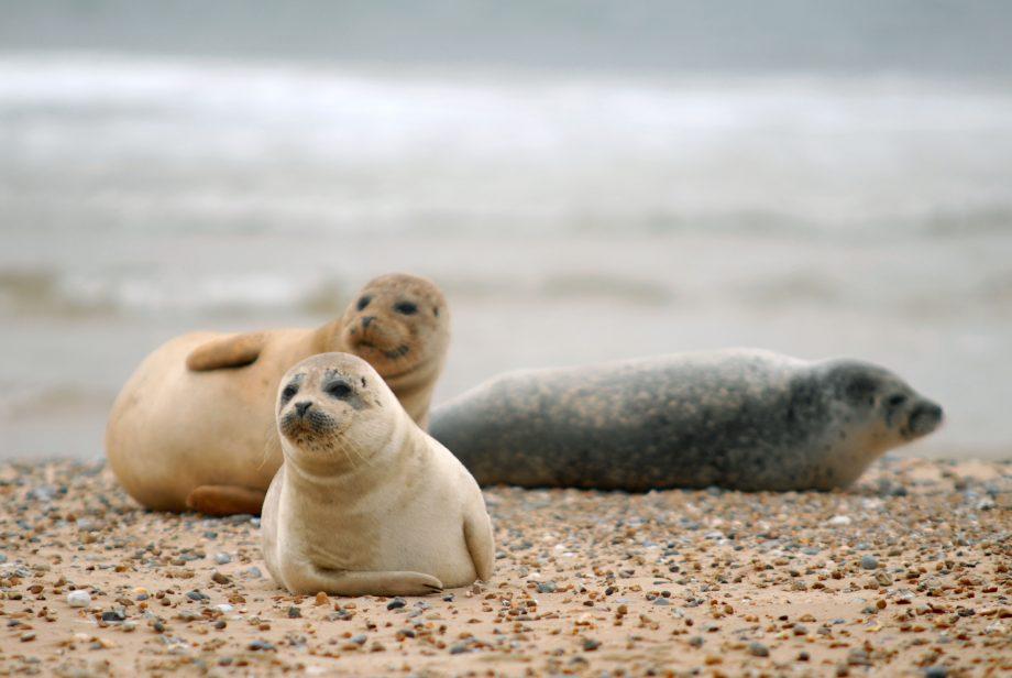Seals on Blakeney Point, Norfolk