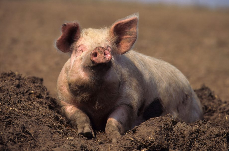 As happy as a pig in mud or feeling sow-er? New technology could read animals' emotions